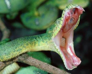 assault snake